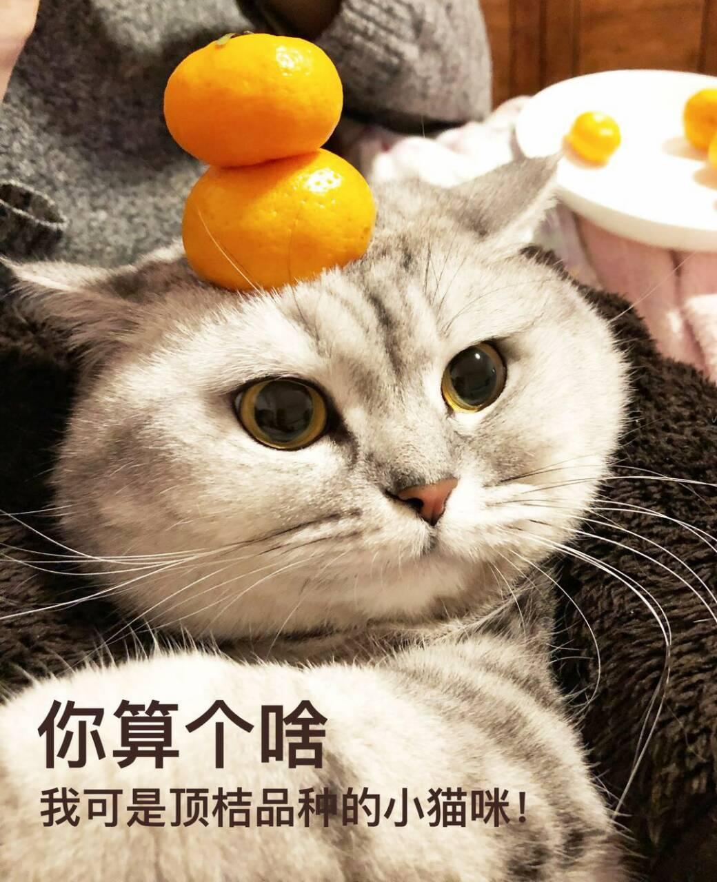 你算个啥我可是顶桔品种的小猫咪